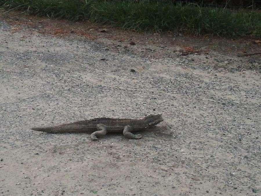 Z ostatniej chwili, Krokodyl Świebodzicach czyli strach przed zabawką - zdjęcie, fotografia