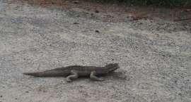 Krokodyl w Świebodzicach czyli strach przed zabawką