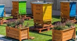 300 tysięcy pszczół na dachu Wroclavii