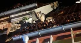 Pies na dachu