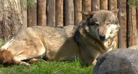 Wilki z wrocławskiego zoo dostały nowy wybieg.