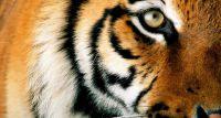 Tygrys zaatakował opiekuna