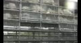 VIDEO Na rondzie w Gorzowie przewrócił się tir z indykami