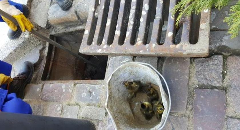Zwierzęta, Straż miejska MPWiK ratunek kaczątkom - zdjęcie, fotografia