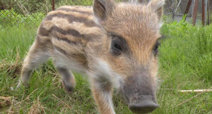 Zwierzęta, Warszawie żyje dzików dokarmiajmy potrafią znaleźć pożywienie! - zdjęcie, fotografia