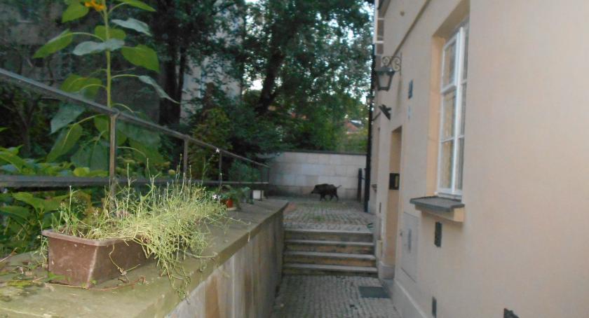 Zwierzęta, Zwiedzał Stare Miasto został zatrzymany Nietypowy gość Starówce - zdjęcie, fotografia