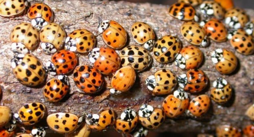 Zwierzęta, Uwaga! biedronka tylko groźny chrząszcz - zdjęcie, fotografia
