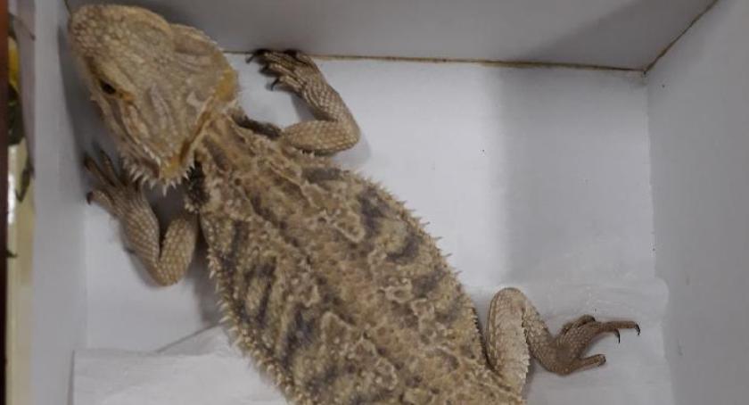 Zwierzęta, Agama brodata przeżyła dzięki pomocy człowieka - zdjęcie, fotografia
