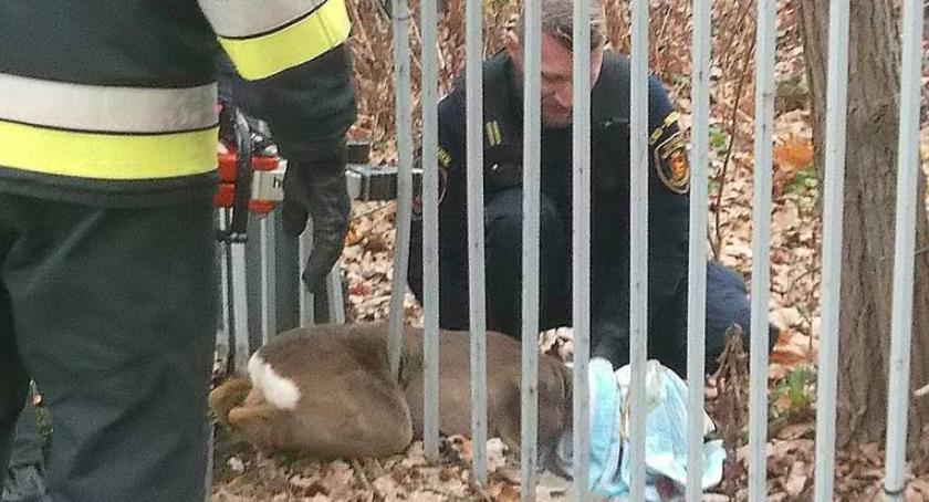 Zwierzęta, Młoda sarna utknęła między prętami ogrodzenia - zdjęcie, fotografia
