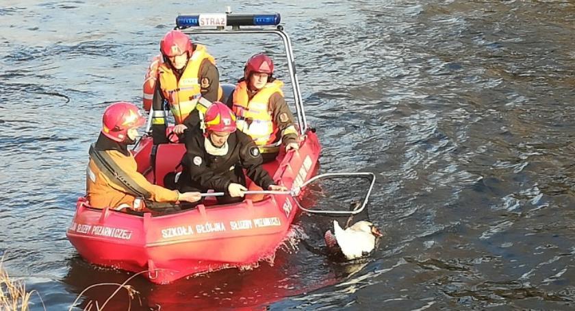 Zwierzęta, Gdyby pomoc mógłby przeżyć Łabędź złamanym skrzydłem uratowany [ZDJĘCIA] - zdjęcie, fotografia