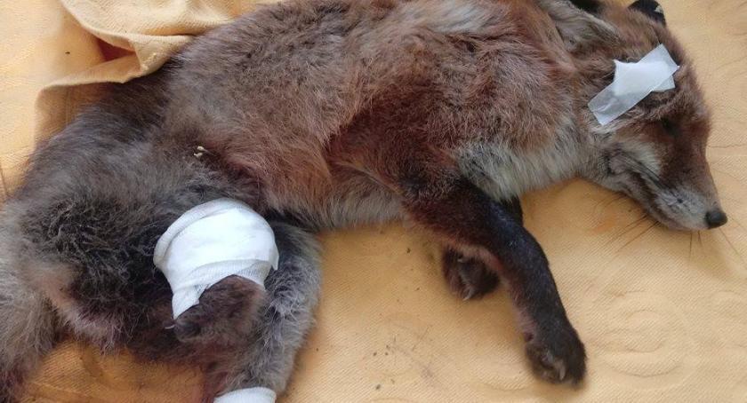 Zwierzęta, Potrzebna pomoc małej lisiczki [ZDJĘCIA] - zdjęcie, fotografia