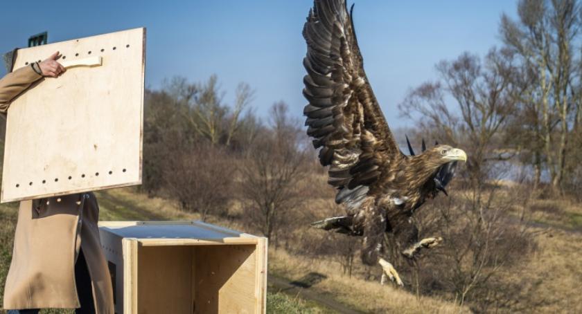 Zwierzęta, miesiącach leczenia bielik powrócił naturalnego środowiska - zdjęcie, fotografia