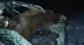 Samochód zderzył się z łosiem. Zwierzę wpadło do wnętrza pojazdu