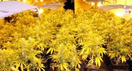 Plantatorzy marihuany złapani na Ochocie. 50 kg narkotyków nie trafi na rynek