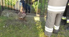 Ekopatrol znów w akcji - sarna i łoś uratowane