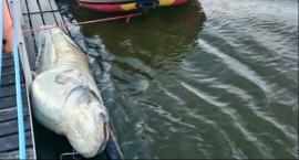 Ratownicy WOPR-u wyłowili martwego suma i uratowali tonącego psa