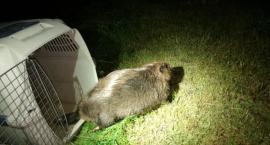 Zmęczony wędrówką po mieście zasnął na środku chodnika. Strażnicy odwieźli go do domu
