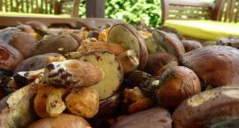 Sezon grzybowy w pełni. Podgrzybki, prawdziwki, a wszystko to w warszawskich lasach
