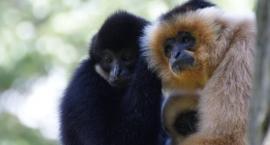 Gibbon week w Warszawskim ZOO. Dużo atrakcji dla miłośników małp!