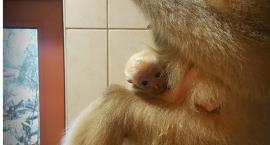 Poznajcie nowego mieszkańca ZOO. Maluch ma już miesiąc!