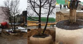 Deweloper nie wyciął drzewa na placu budowy. Pokazał, że można je uratować [ZDJĘCIA]
