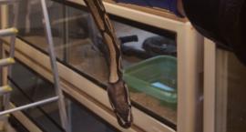 Ponad 100-centymetrowy wąż ukrywał się...pod wersalką [ZDJĘCIA]