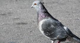 Kopał gołębia, bo... myślał, że to szczur