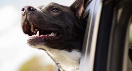 Upał, środek dnia - zostawili psa w samochodzie i poszli na kawę...