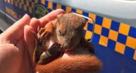 Wiewiórcze dziecko uratowane