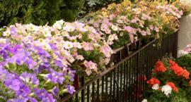 Warszawa w kwiatach i zieleni - gala finałowa w najbliższą niedzielę