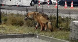 Już nie tylko dziki wędrują po mieście. Ranny wilk na ulicy