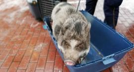 Niecodzienna interwencja Ekopatrolu - świnka na wietnamska na Uroczej [ZDJĘCIA]