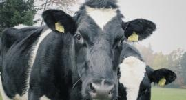 Choroba szalonych krów znowu w Polsce