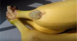 Pająk w bananach w jednej z firm na Włochach