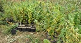 Policja zlikwidowała uprawę marihuany na opuszczonej działce męża Hanny Gronkiewicz-Waltz