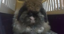 Mały królik z Pragi szuka domu