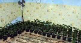Kolejni plantatorzy marihuany złapani. Policja zatrzymała dwóch Wietnamczyków
