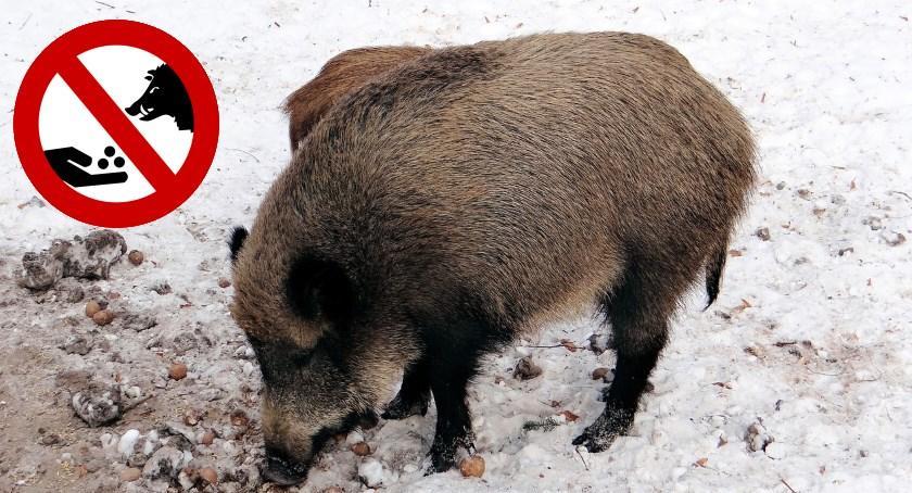 Zwierzęta, Zakaz dokarmiania dzików terenie powiatu otwockiego - zdjęcie, fotografia