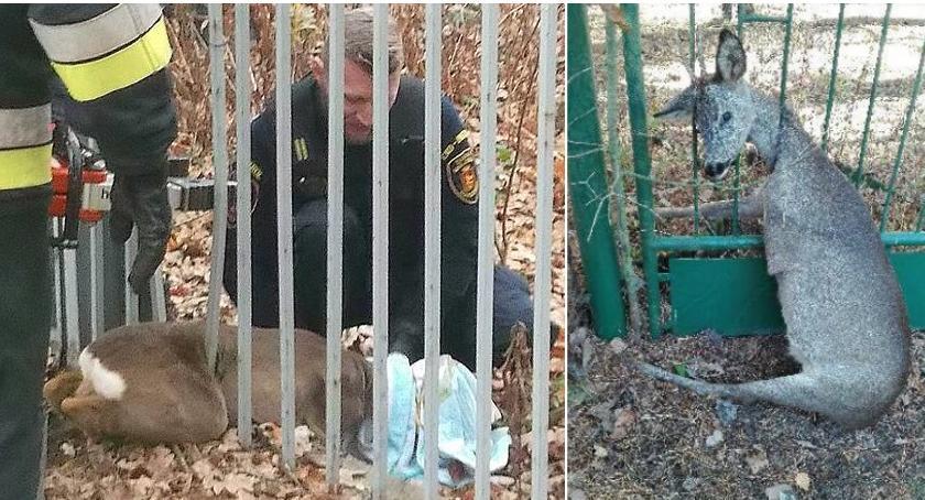 Zwierzęta, Sarny pułapce ogrodzenia - zdjęcie, fotografia