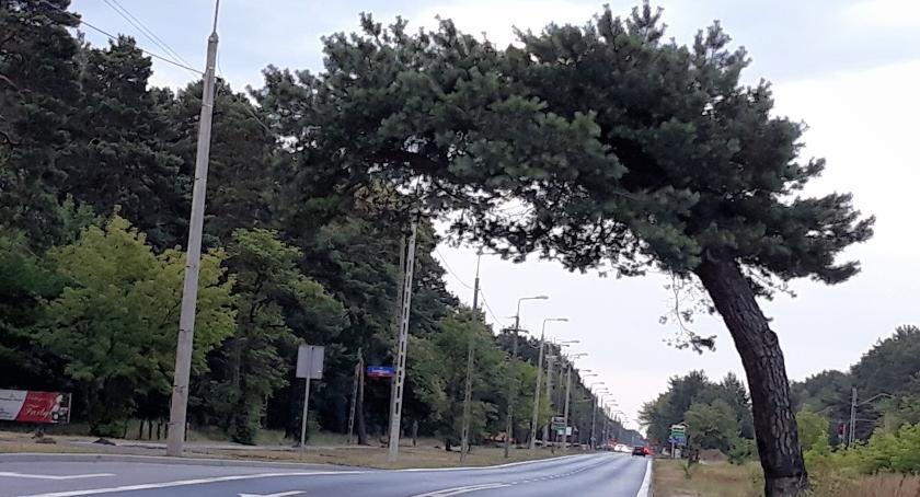 Ekologia, Falenicka sosna jednak pomnikiem przyrody - zdjęcie, fotografia