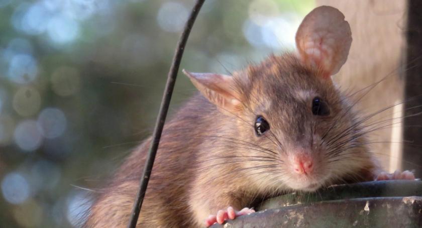 Tekst sponsorowany, pozbyć szczurów - zdjęcie, fotografia