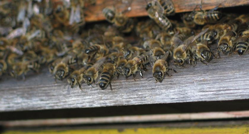 Rolnictwo, Kłopoty kołbielskich pszczelarzy - zdjęcie, fotografia