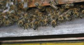 Kłopoty kołbielskich pszczelarzy