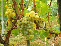 Wino białe chardonnay - najlepsze chardonnay