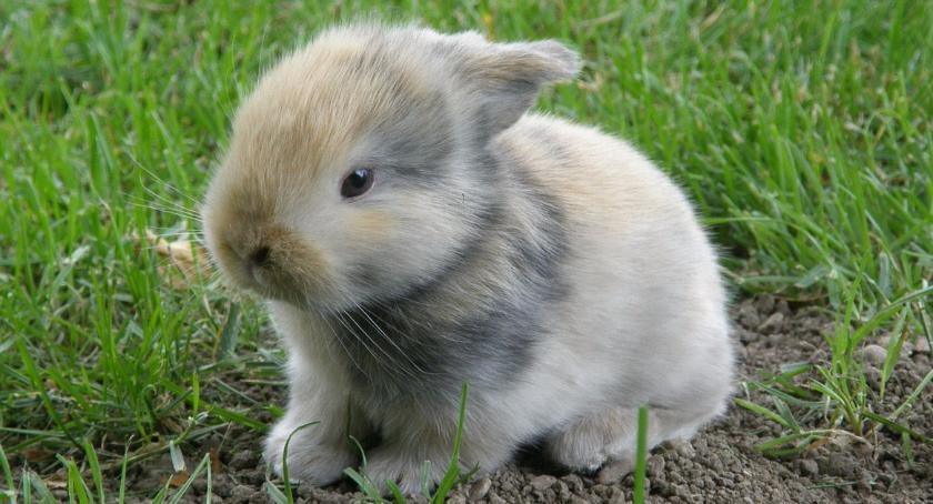 Rekreacja, Międzynarodowa wystawa królików Bielsku Podlaskim - zdjęcie, fotografia