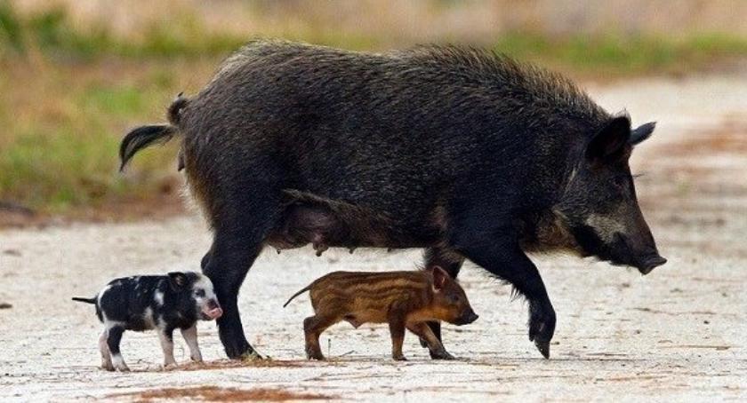 Rolnictwo , Odstrzał dzików terenie powiatu bielskiego - zdjęcie, fotografia