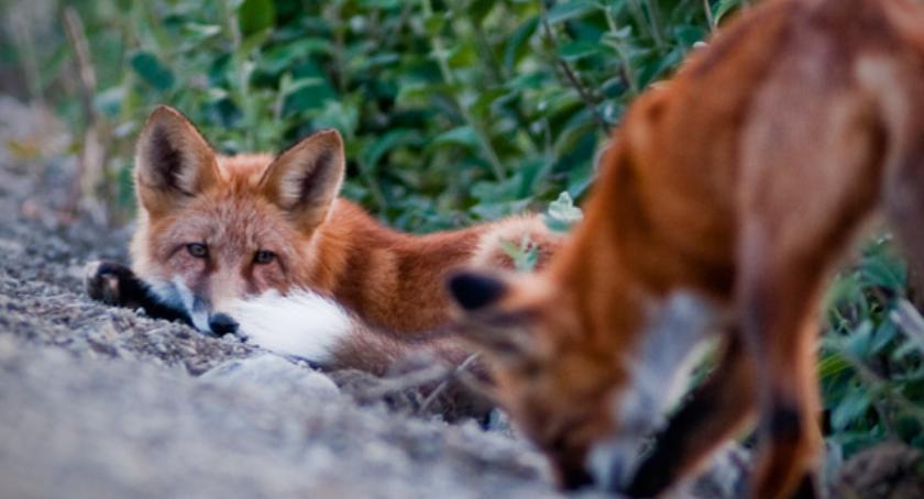 Rolnictwo , Szczepionki przeciw wściekliźnie lisów lasach - zdjęcie, fotografia