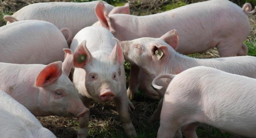 ROLNICTWO, Ubojnia świń ruszy Bielsku Podlaskim - zdjęcie, fotografia