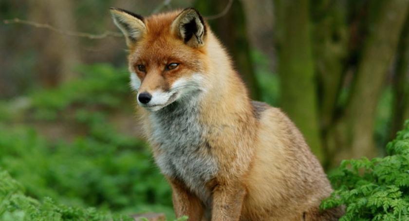 ROLNICTWO, Szczepienia przeciw wściekliźnie lisów bielskich lasach - zdjęcie, fotografia