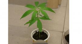 Nastolatek zatrzymany w związku z uprawą marihuany